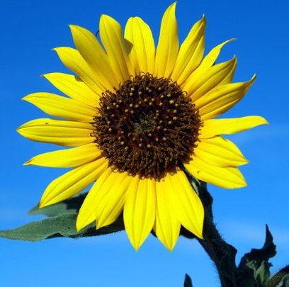 sunflower me
