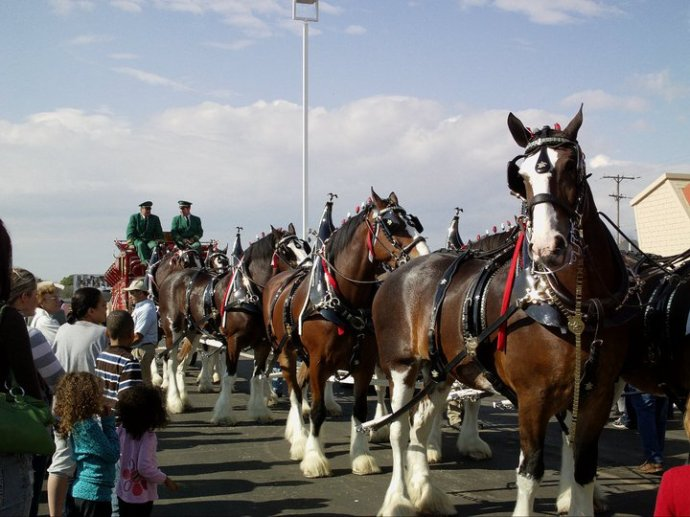 The beautiful Budweiser Clydesdales; an emjayandthem photo