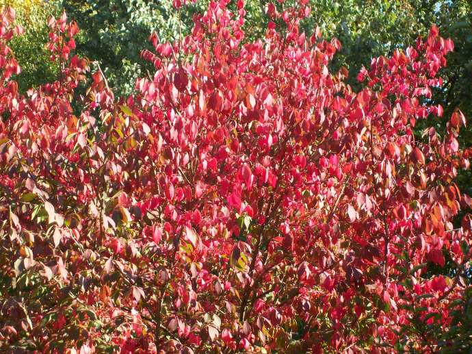 burning bush in the yard