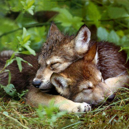 wolf cubs napping