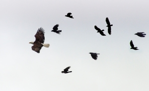 Crows and Eagles