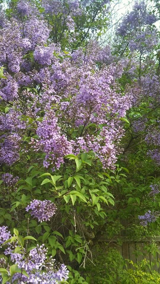 So happy my lilacs are blooming!