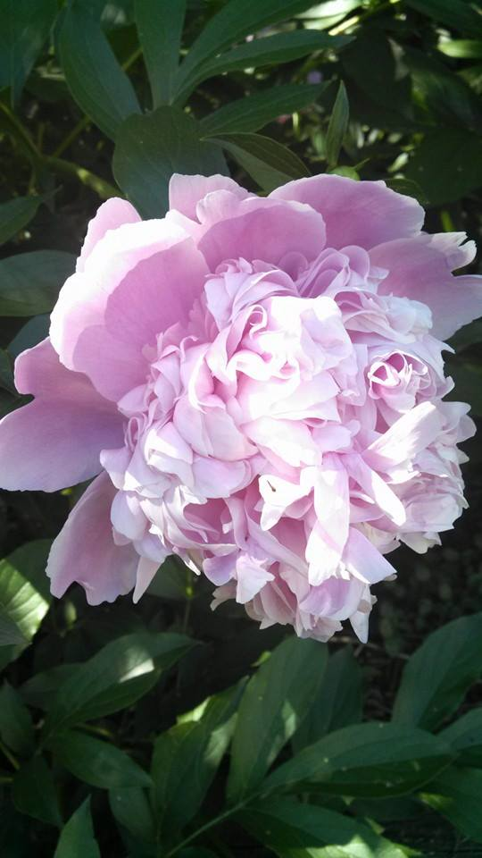 This year's peonies are glorious! An Emjayandthem (C) photo