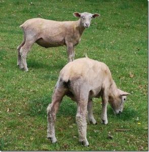sheep-thumb