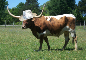 """If you Google """"Cow with Tinfoil on his head"""" this is what you get - HA!"""