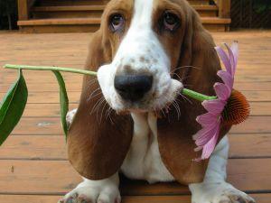 puppy-basset-hound